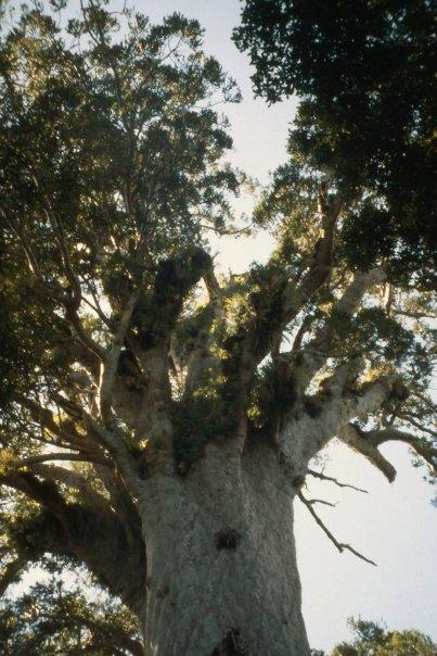 WAIPOUA KAURI FOREST, NI - MAR 2004