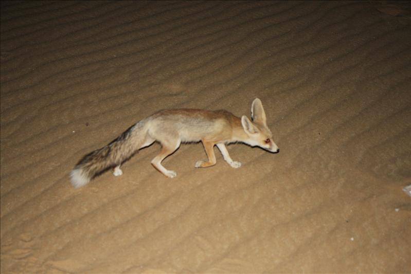 Woestijnvos