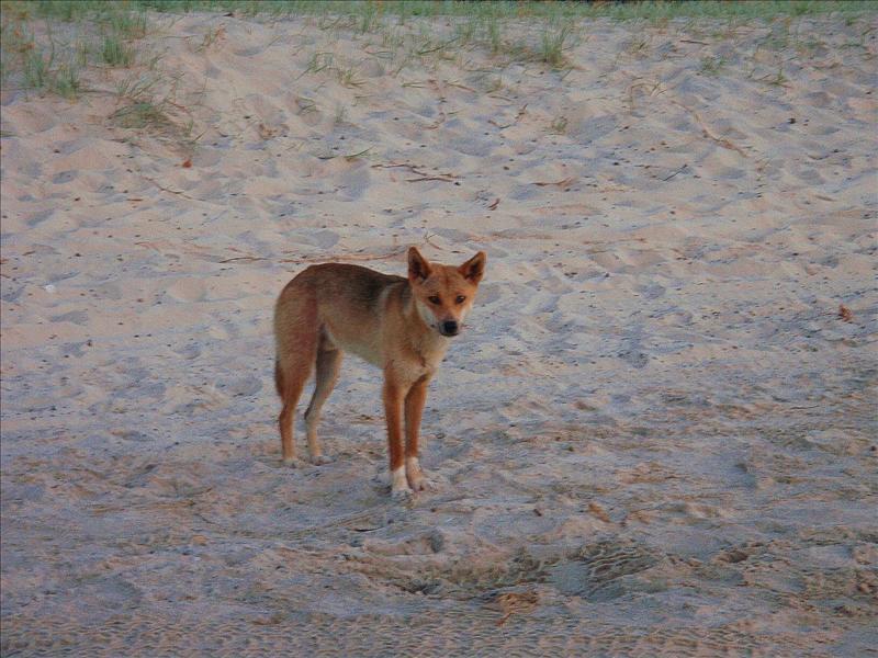 Cheeky Dingo - Fraser Island.