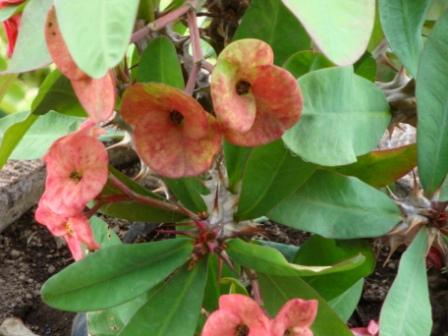 vulcan bali flower