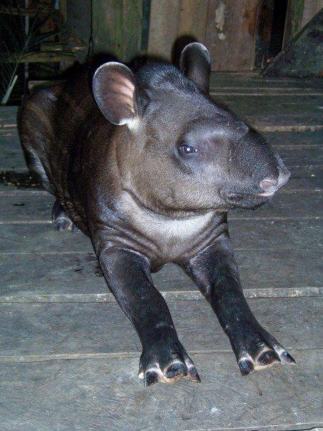 ISABELL, THE CUTE TAPIR