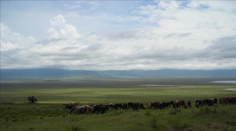 cows•Ngorongoro
