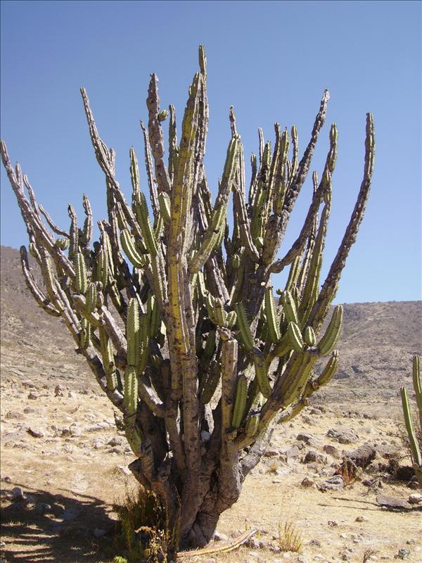 cactus•2008