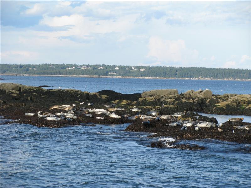 met twee soorten zeehond: de harbour seal, en de grey seal!