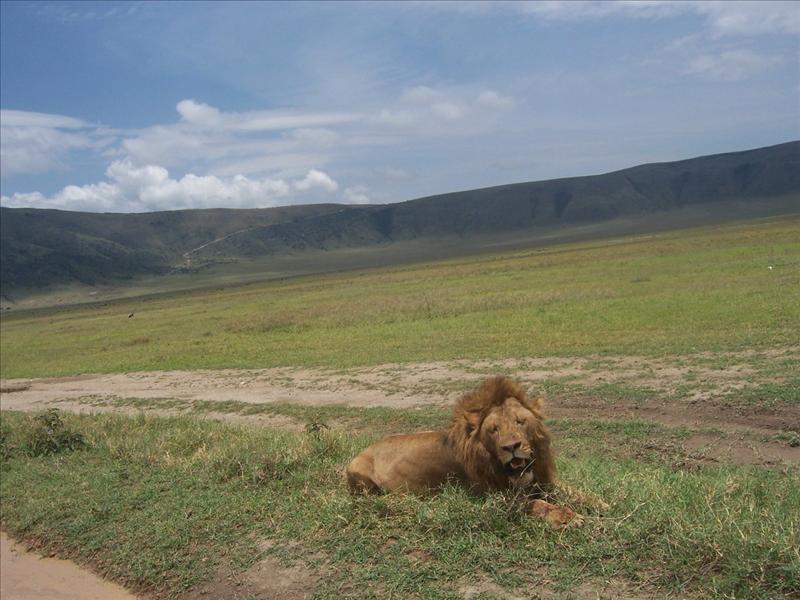 lion•Ngorongoro