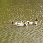 Ducks at Banjosa lake