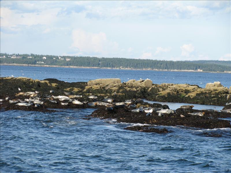 Zeeohondenkolonie