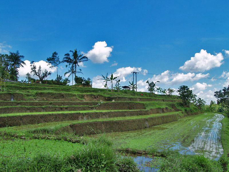 Rice Terrace in Jati Luwih