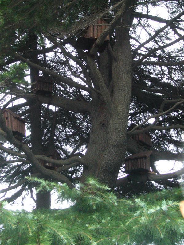 很多鳥巢的樹 @ 德國總督府外