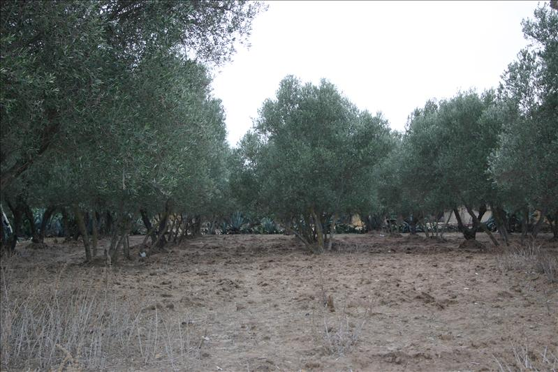 Meknes Olive Groves
