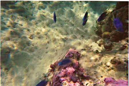 BLUE FISH, PINK CORAL,IN MORREA