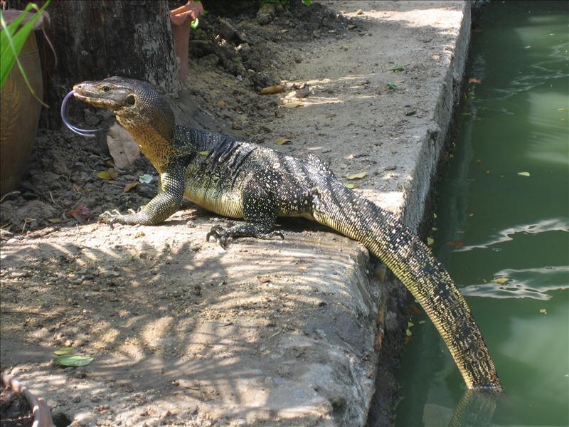 Warane gabs viele und grosse im Lumphini Park