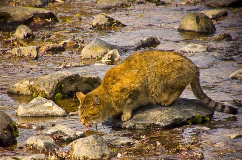 Thirsty pussy cat