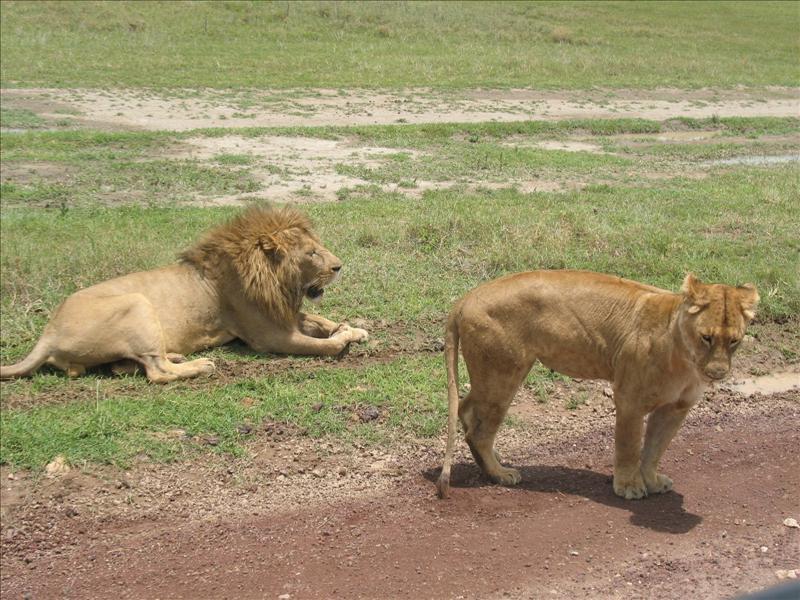 lions•Ngorongoro