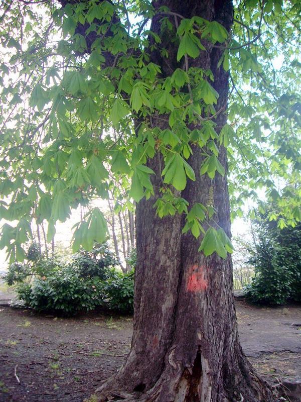 非常壯大的樹