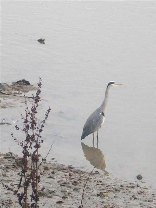 Bird in the thames river