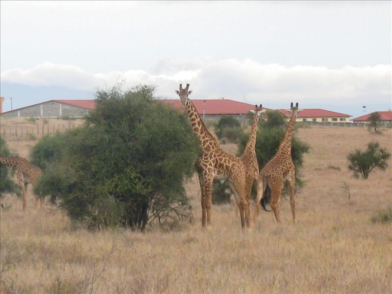 giraffes•Makutano•Kenya