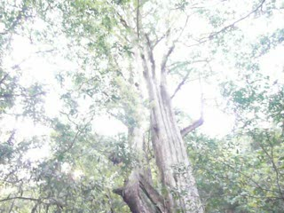 司馬庫斯巨木 (2).MOV
