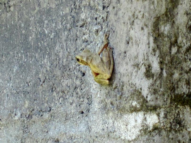 a dangerous frog on the side of a wall. It shoots out poisonous venom.
