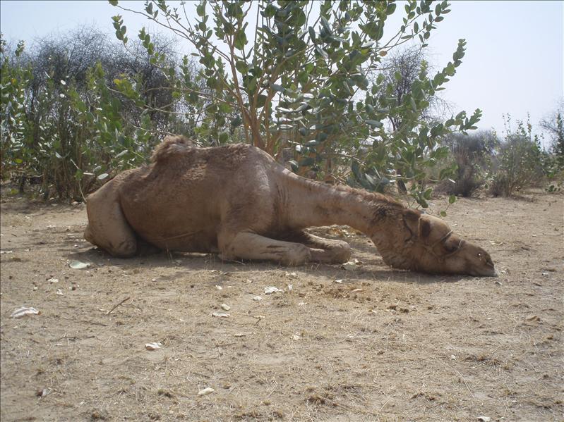 Zzzzleepy camel