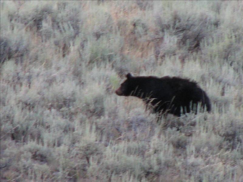 echt cool om een wilde beer te zien, maar we hielden wel onze afstand (100 yards)