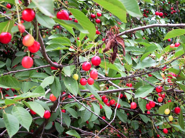 Cherry (Bulgaria)