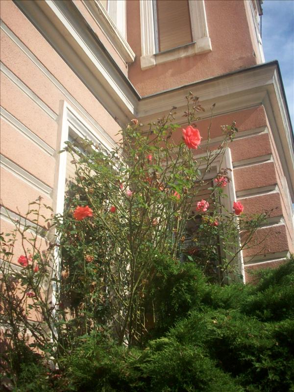 Roses, this reminded me of alice in wonderland for some reason.