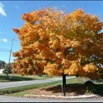 超美麗的黃色樹葉~~~整顆樹都是唷!