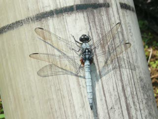 淡藍色蜻蜓2.MOV