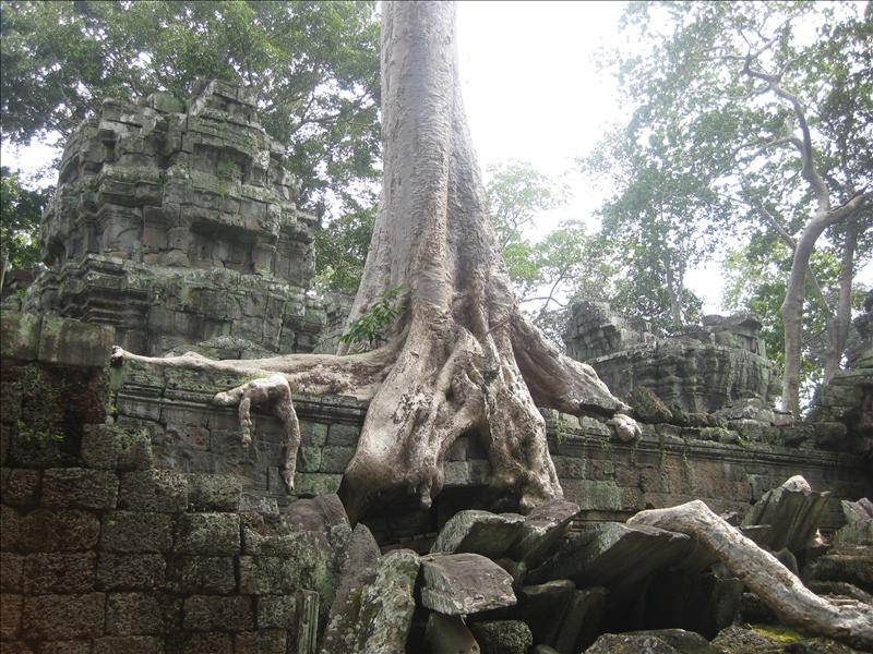 Iconic Ta Prohm is the original jungle temple embraced by vast root systems.