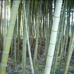 bamboo•Fujinomiya