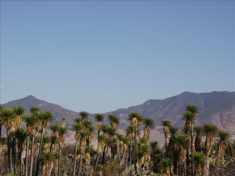 cactus•Mitla