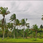Waving Coconut Trees..