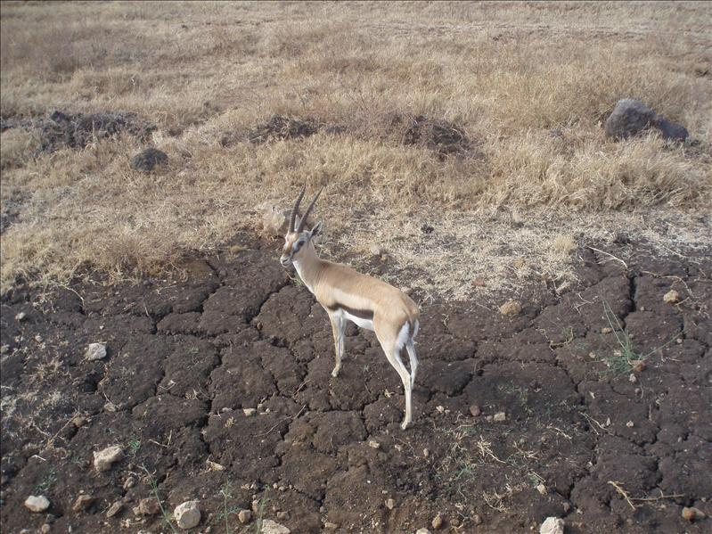 Thomson Gazelle, Ngorongoro