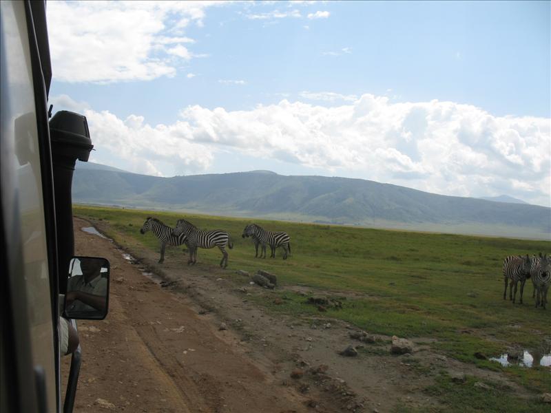 zebras•Ngorongoro
