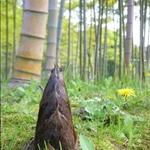 bamboo Jr