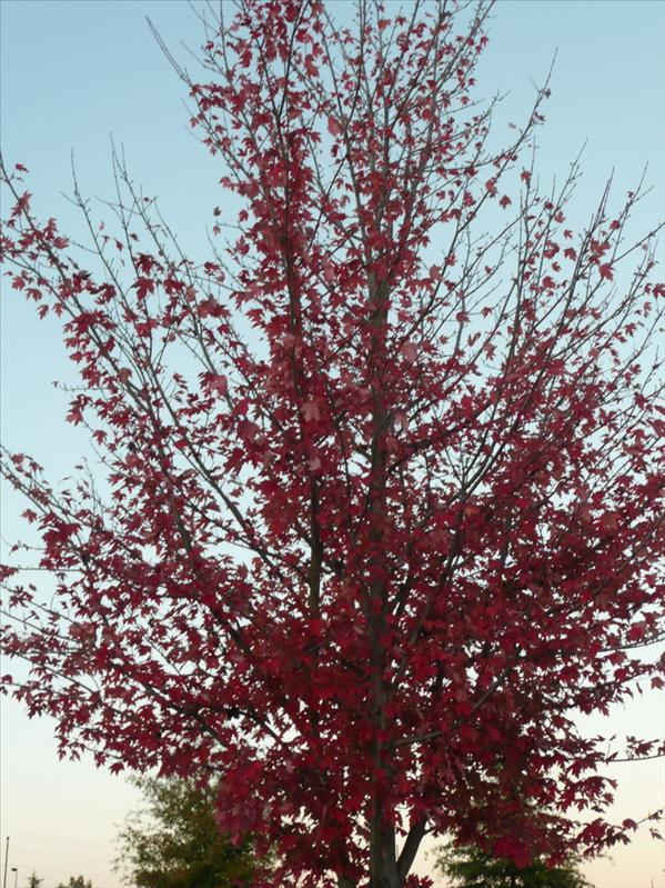 紅葉樹 ^^