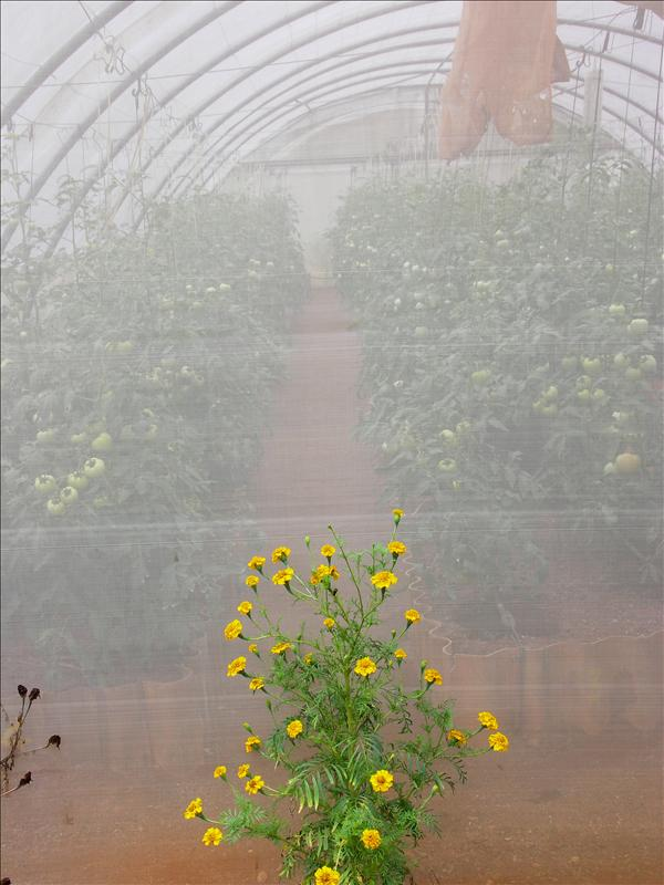 Tomatoes in a polytunnel, guarded by a marigold