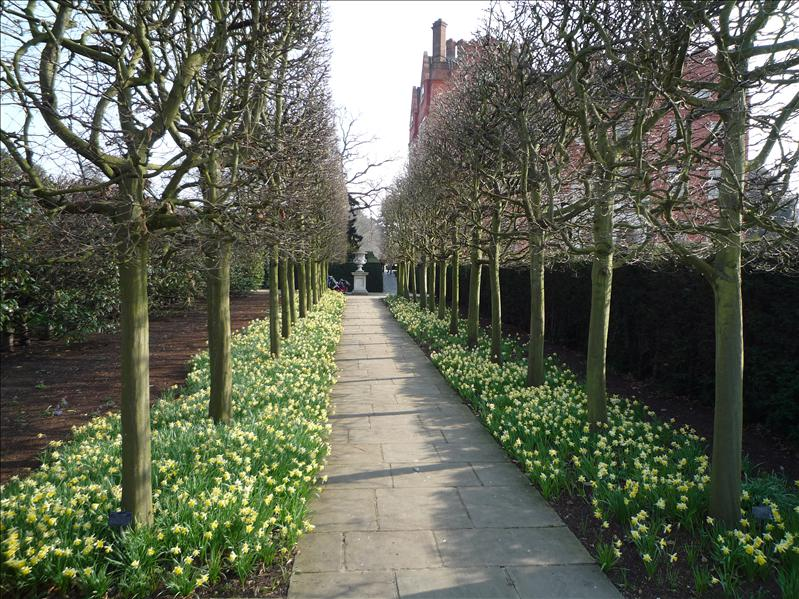 Pleached Hornbeam Avenue