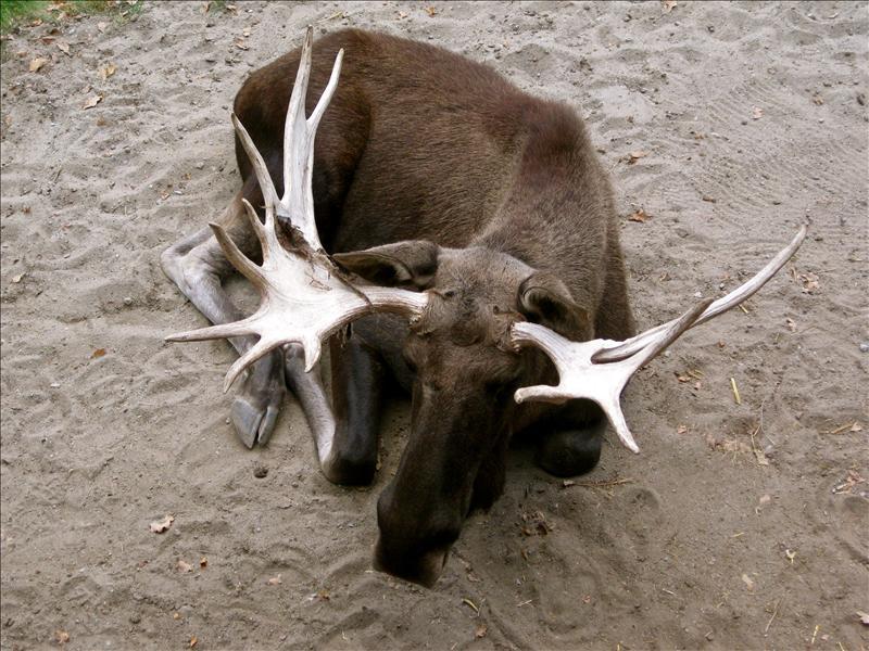 a moose! i think