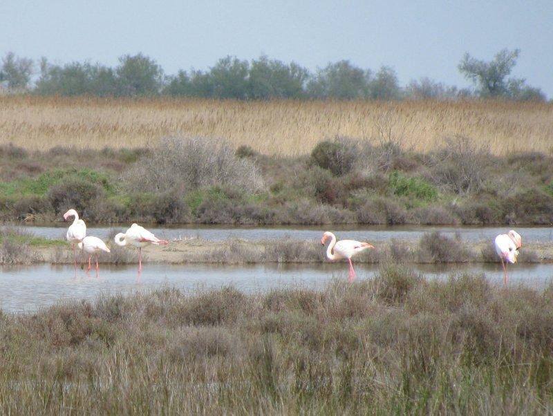 In the Camargue we saw these flamingos ...