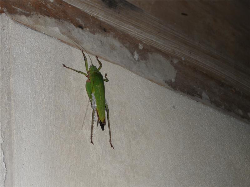 Huge Cicada