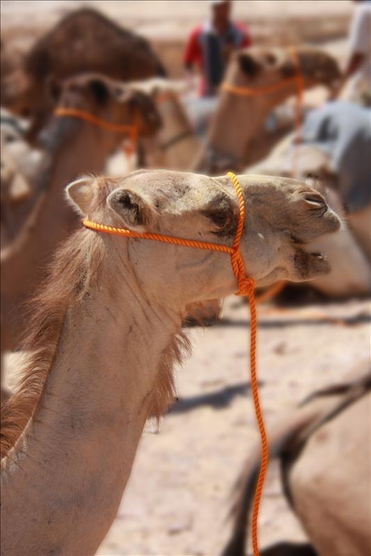 Kamelentocht