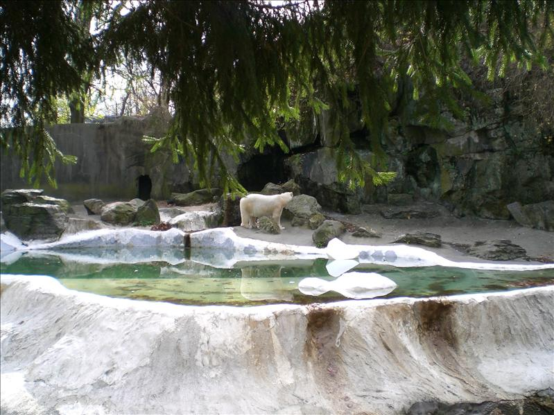 Polar Bear in the open, so different from Singapore. At Bronx Zoo