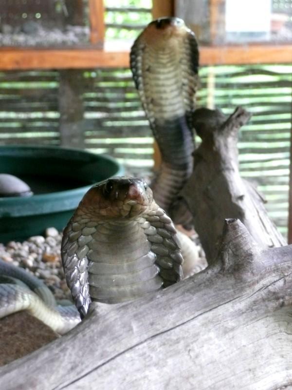 Banded Cobra