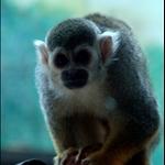 marmoset  绒猴 (上海动物园)