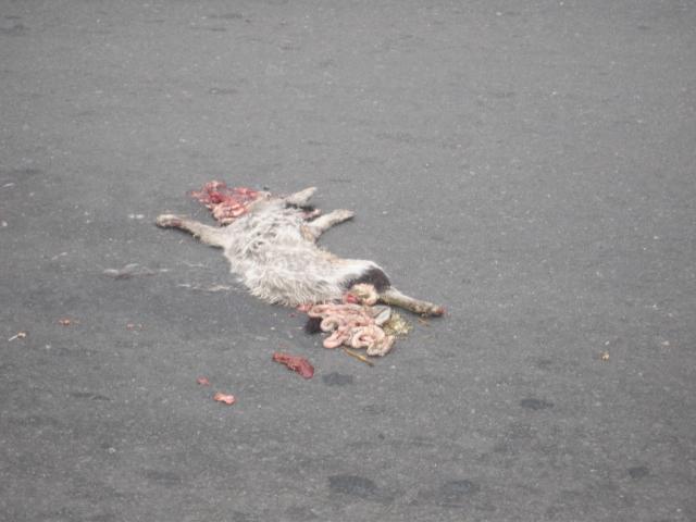 fresh road kill. gross.