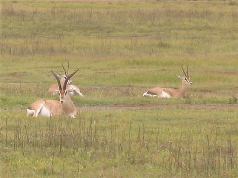 gazelle•Ngorongoro