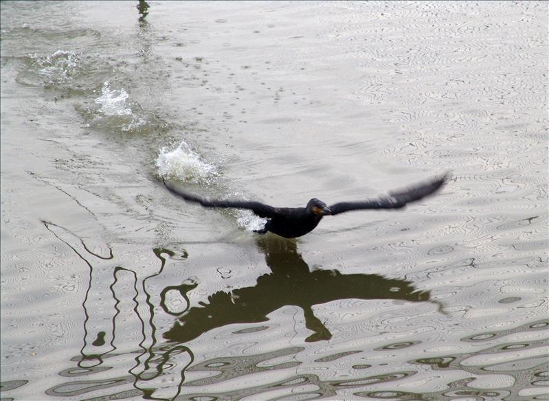 pelican(鹈鹕)
