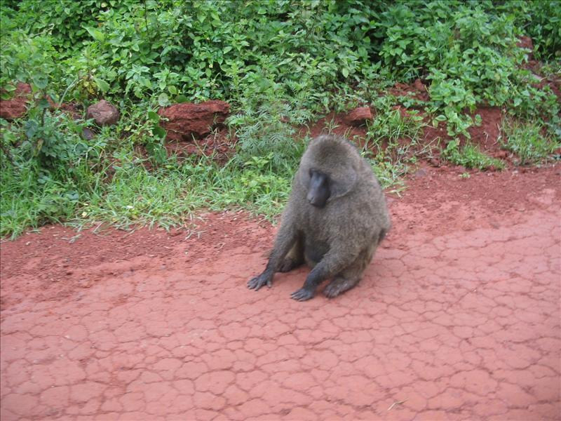baboon•Ngorongoro